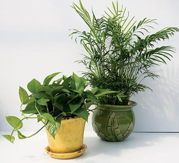 zimmerpflanzen-palmenarten-weißer hintergrund