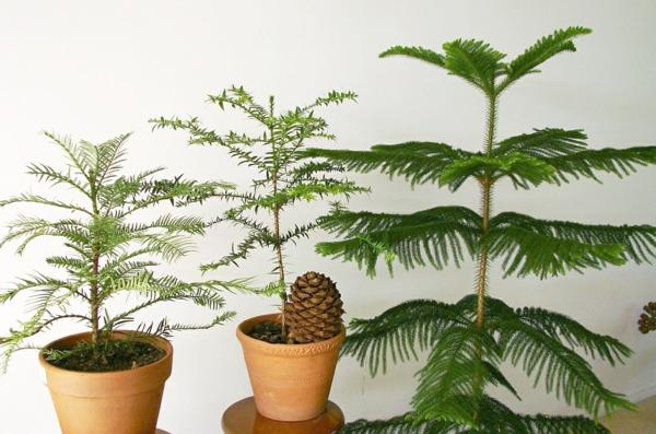 zimmertanne-araucaria-heterophylla-exotische-zimmerpflanzen-zu-hause