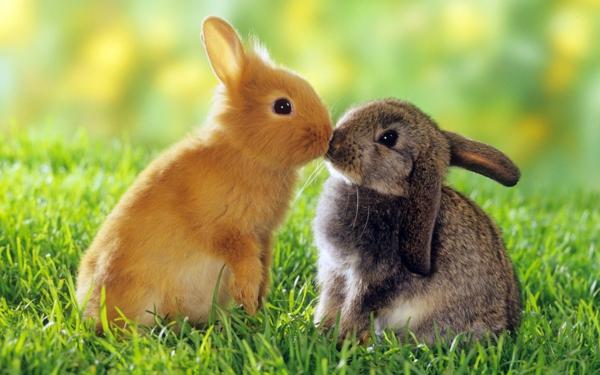 zwei-süße-hasen-schöne-tierbilder- sie küssen sich