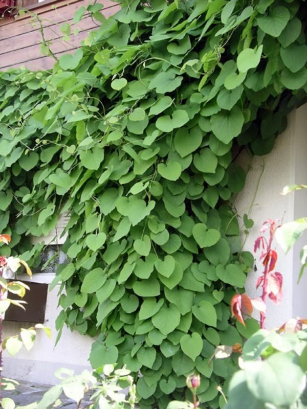 Aristolochia-durior-immergrüne-kletterpflanzen-am-zaun-frische-Blätter
