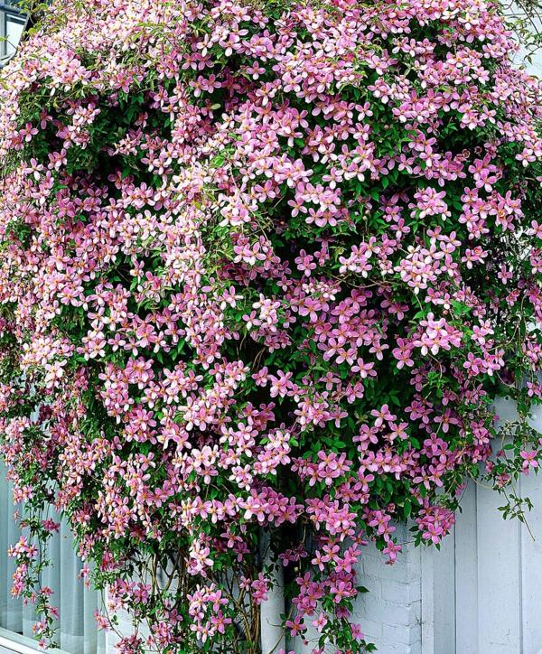 Clematis-rosa-gartenblumen