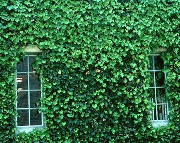 English-Ivy-kletterpflanze-immergrüne-pfanzen