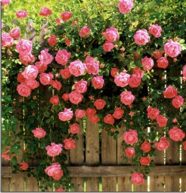 Moderne-Kletternde-Rose_rosa