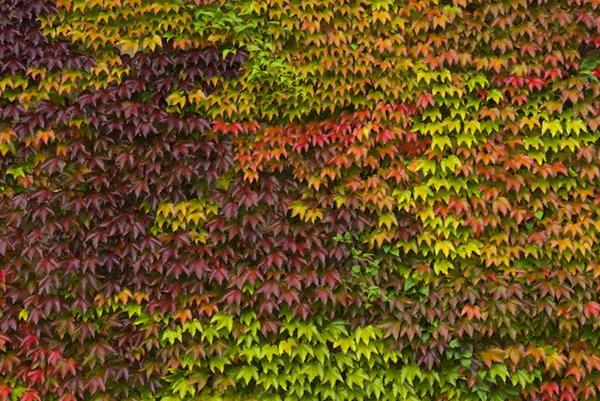 Parthenocissus-tricuspida-immergrüne-Kletterpflanzen