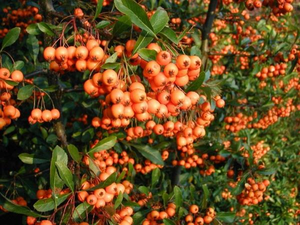 Pyracantha-coccinea-berries-feuerdorn-kletterpflanzen