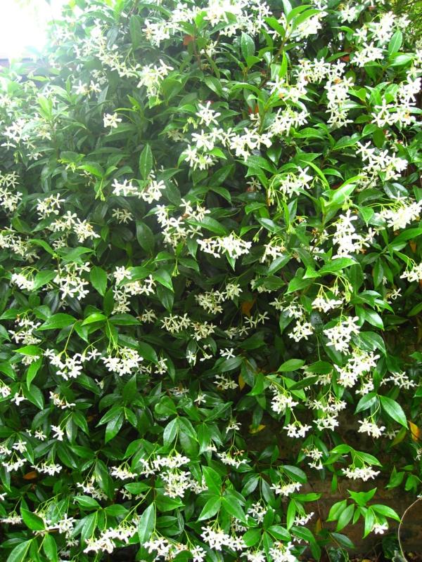 Star-Jasmine-kletterpflanzen-blühend