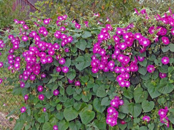 Bluhende Kletterpflanzen Wunderschone Fotos Archzine Net
