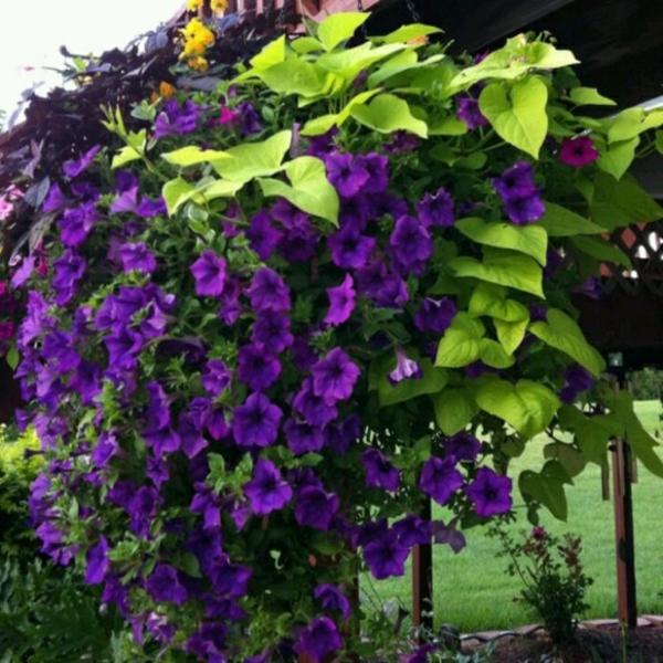 blühende-Kletterpflanzen-lila