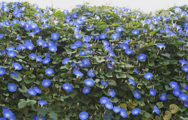 schöne--blaue-blumen-kletternde-pflanze