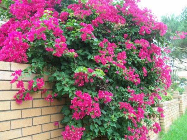 rosa-bougainvilleas-rosa-gartenideen