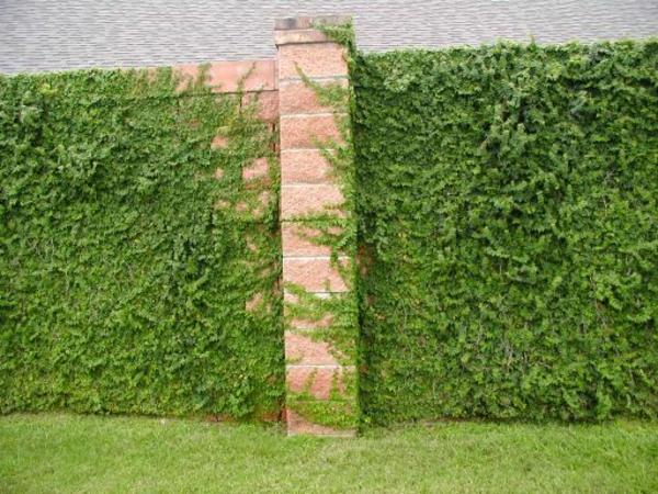 english-ivy-schöne-grüne-kletterpflanzen