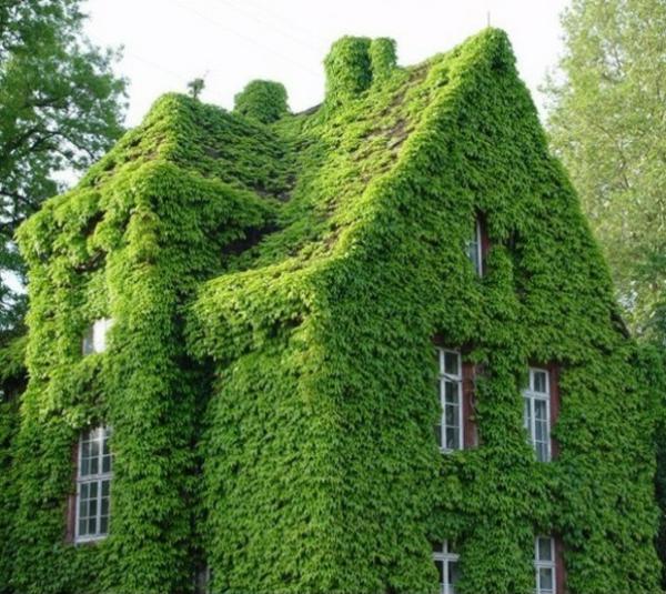 fassadengestaltung-kletternde-pflanzen-am_haus