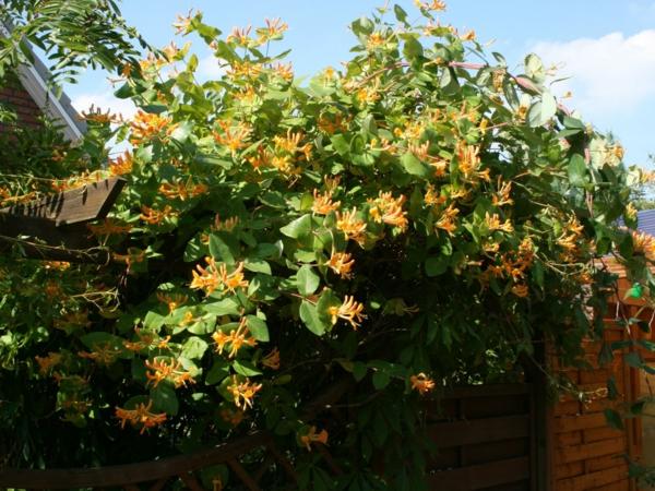 gelb-geissblatt-tellmaniana-gold-geissschlinge-Kletterpflanze