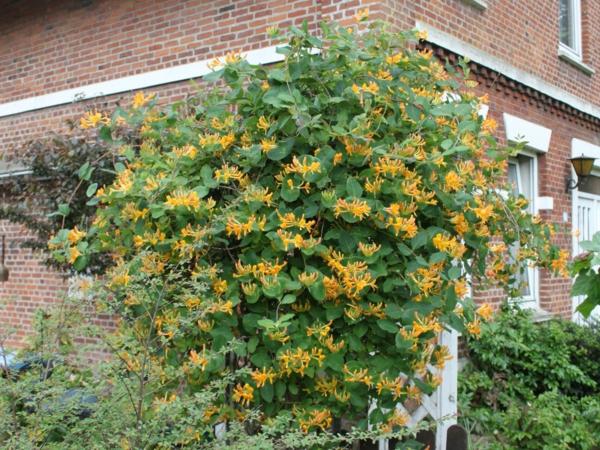 geissblatt-tellmaniana-gold-geissschlinge-Kletterpflanzen