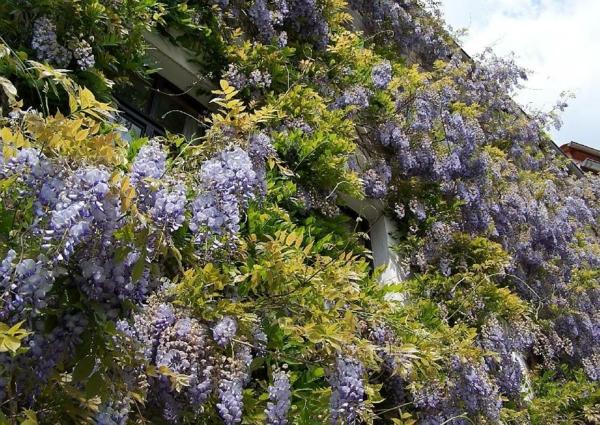 glyzinien-blauregen-wisteria-fassadengruen-schlingpflanzen-lila