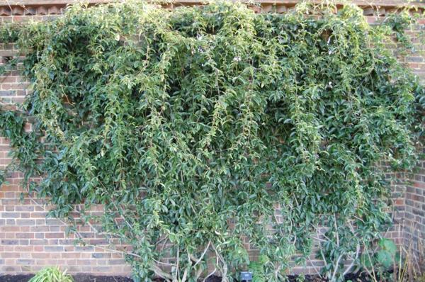 holboellia-coriacea-grüne-kletterpflanzen