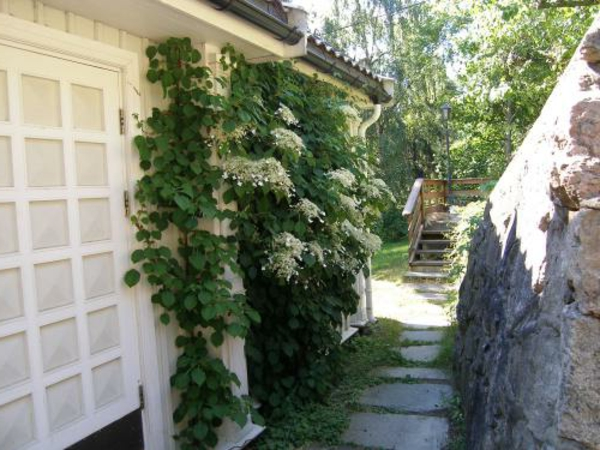immergrüne-Kletterpflanzen-an-der-fassade-züchten