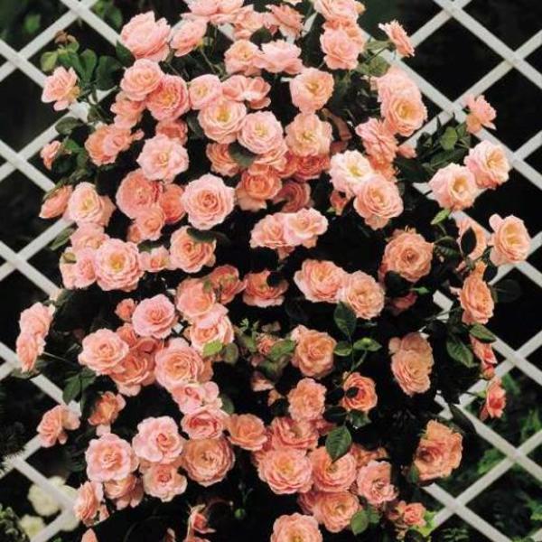 schöne-kletternde-rose-pastellorange-