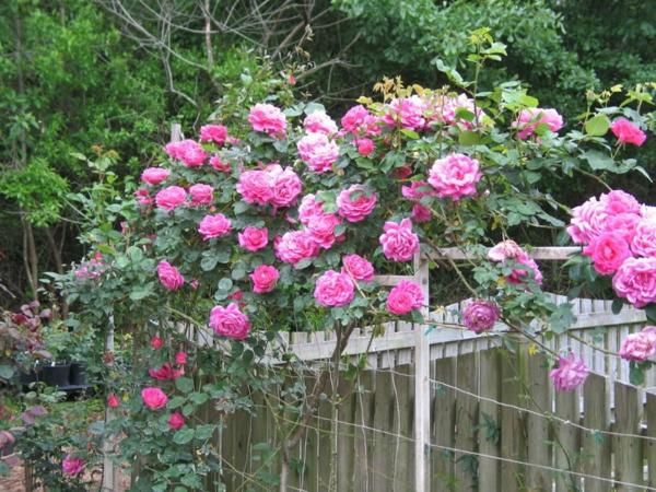 schöne-kletternde-rose-rosa-blumen-gartendesgin