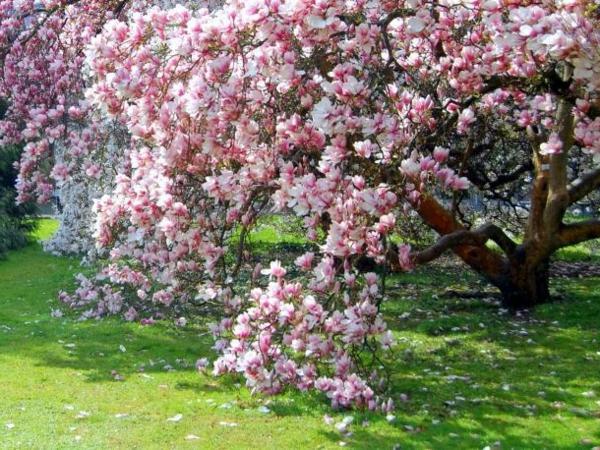 magnolia-wunderbare-blühende-bäume-im-Garten