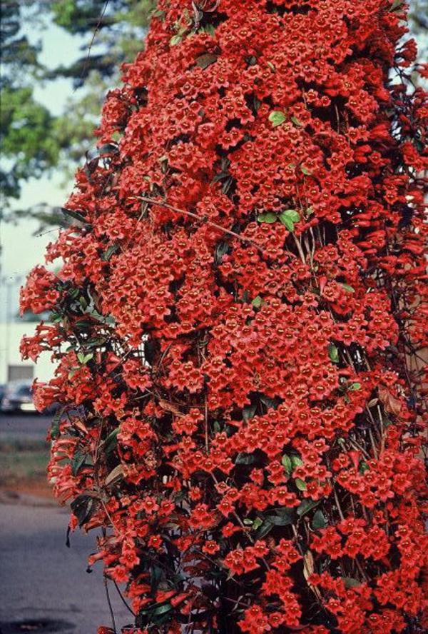 Blhende Kletterpflanzen Wunderschne Fotos