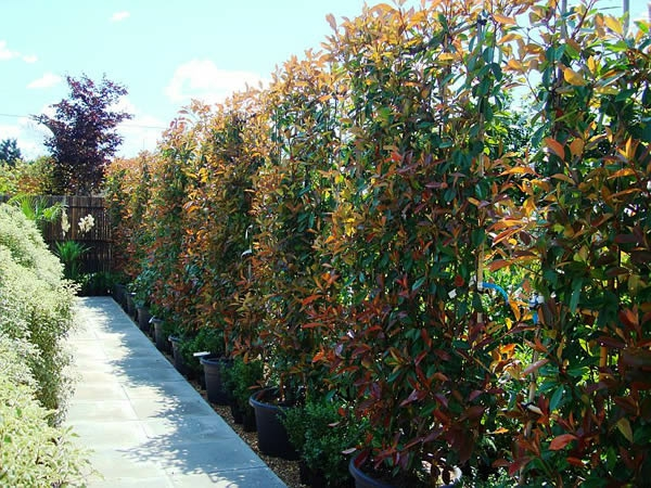 photinia-rot-pflanzen-sichtschutz-zaun
