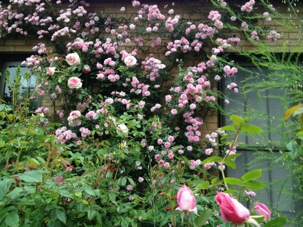 rosa-kletterpflanze-designidee-für-den-garten-gestaltungsidee