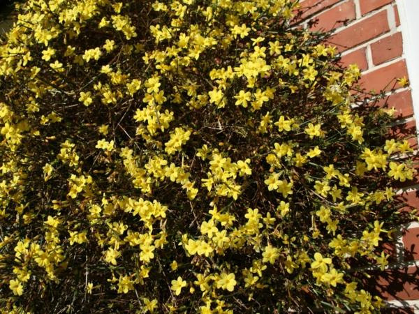 gelb-winterjasmin-kletterpflanze-gelb