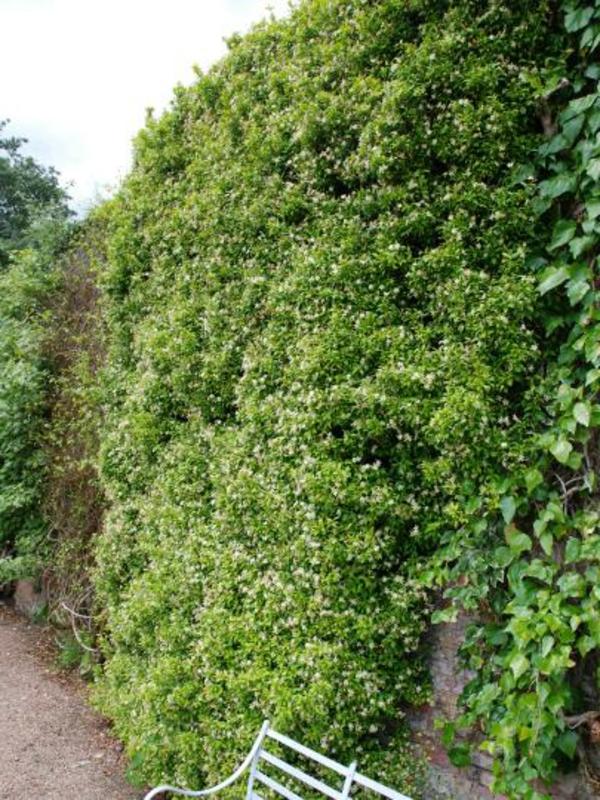 zaun-mit-immergrünen-Kletterpflanzen-gartendesign