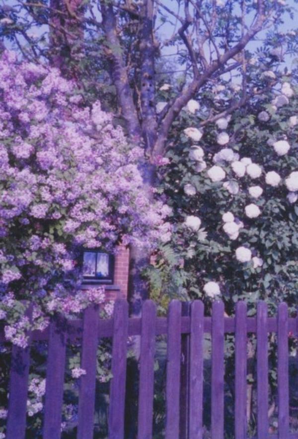 Gartenzaun-in-schöner-lila-Farbe