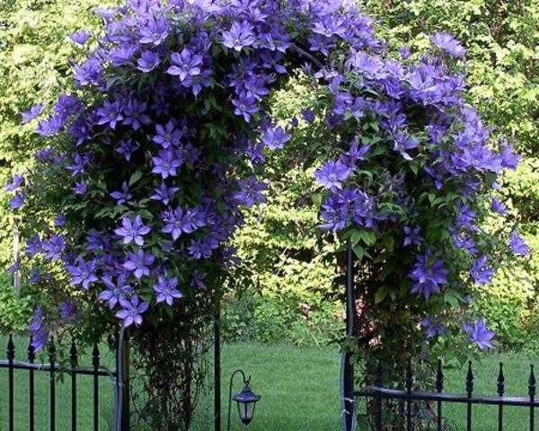 blühende-kletterpflanzen-für-balkon