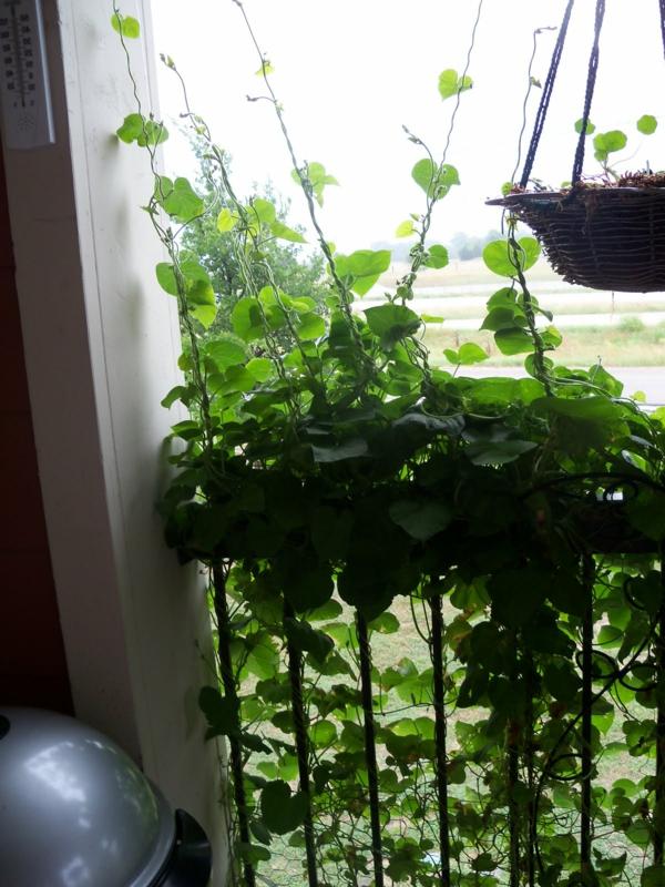 kletterpflanzen-für-balkon-schönes-bild