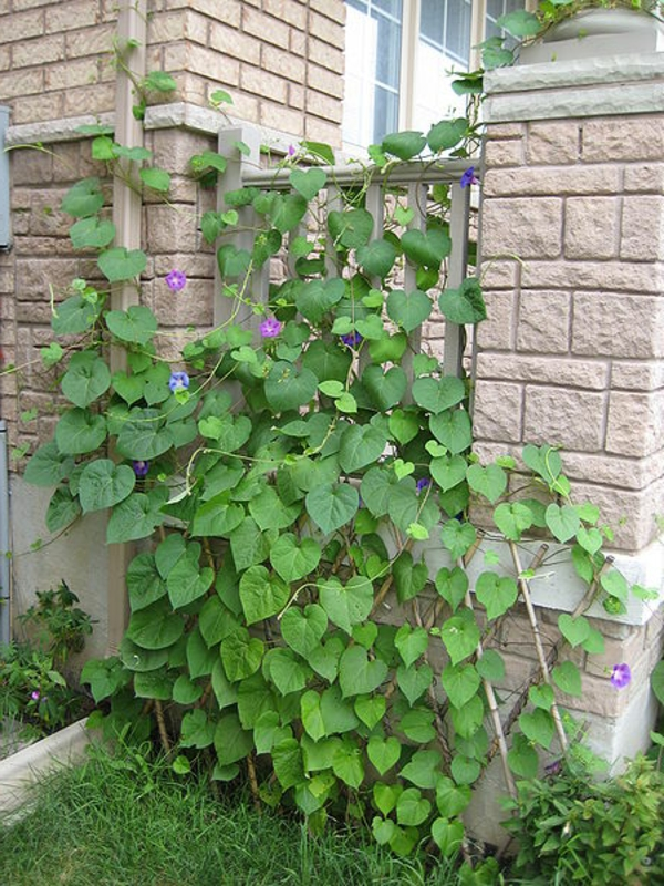 kletterpflanzen-für-balkon-super-gestaltung