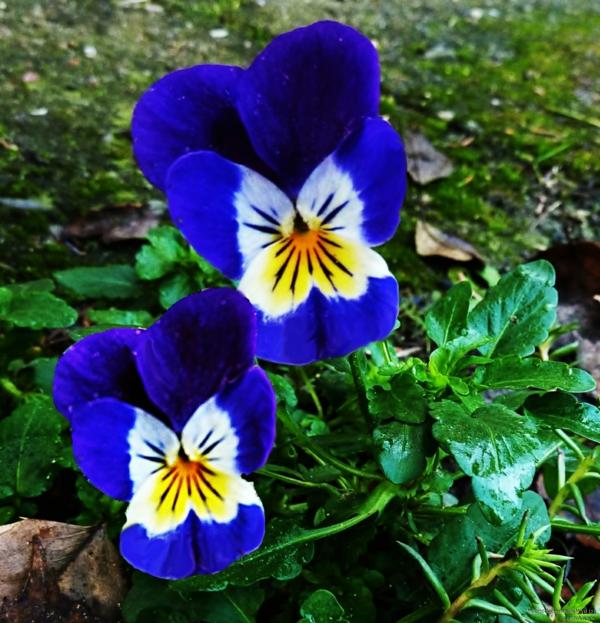 stiefmütterchen-pflanzen-blau-und-wunderschön-aussehen