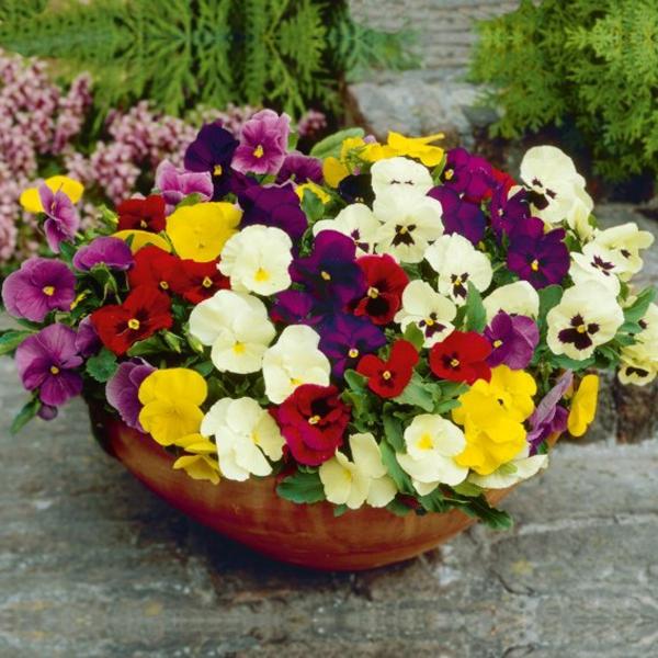 stiefmütterchen-pflanzen-bunte-farben - super garten gestalten