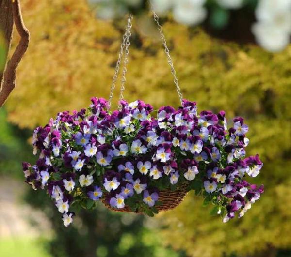 stiefmütterchen-pflanzen-cooles-hängendes-modell