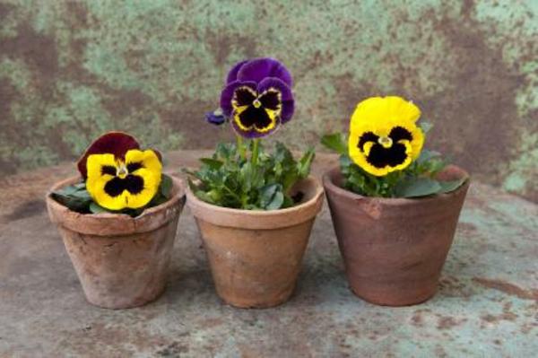 stiefmütterchen-pflanzen-drei-töpfe - sehr süß aussehen