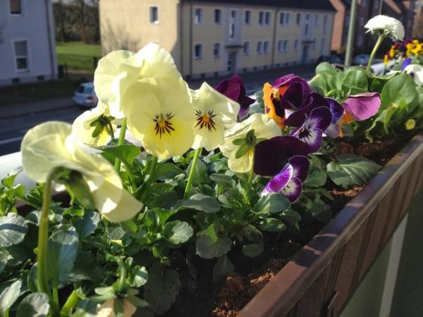 stiefmütterchen-pflanzen-für-einen-schönen-balkon