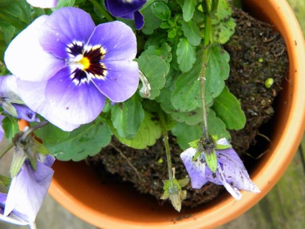 stiefmütterchen-pflanzen-foto-von-oben-genommen - sehr schön
