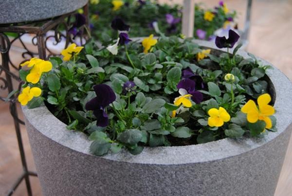 stiefmütterchen-pflanzen-gelb-aussehen
