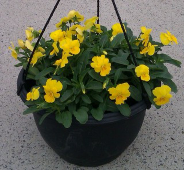 stiefmütterchen-pflanzen-gelbe-farbe