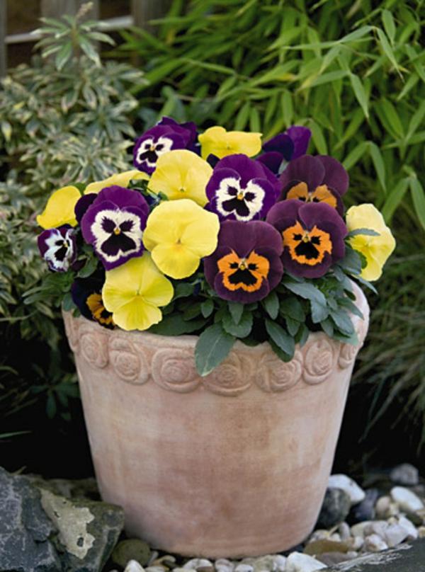 stiefmütterchen-pflanzen-großer-schöner-topf
