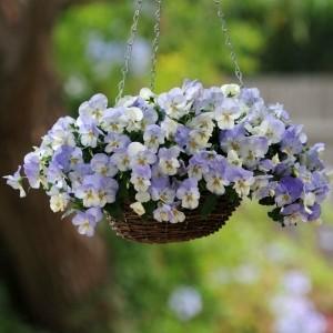 Stiefmütterchen pflanzen - 40 coole Bilder!