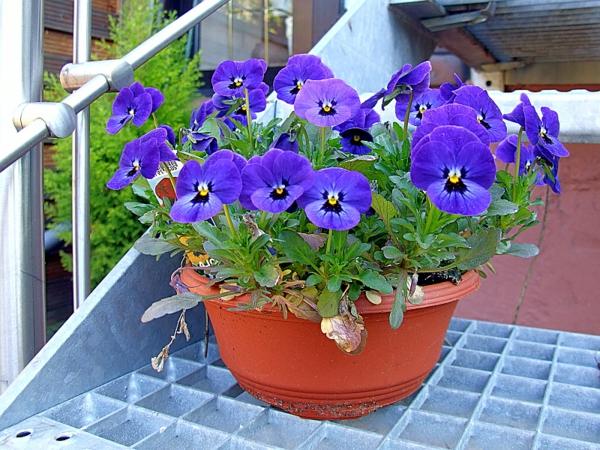 stiefmütterchen-pflanzen-in-blauer-farbe - neben dem gelände