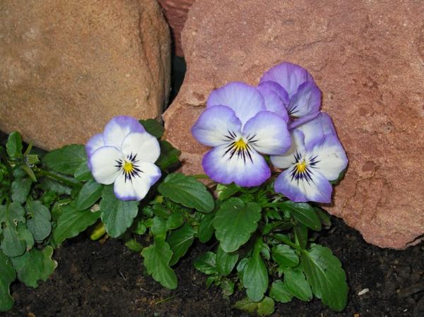 stiefmütterchen-pflanzen-neben-den-steinen