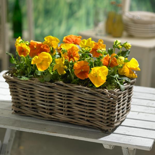 stiefmütterchen-pflanzen-orange-farbe- wunderschön aussehen