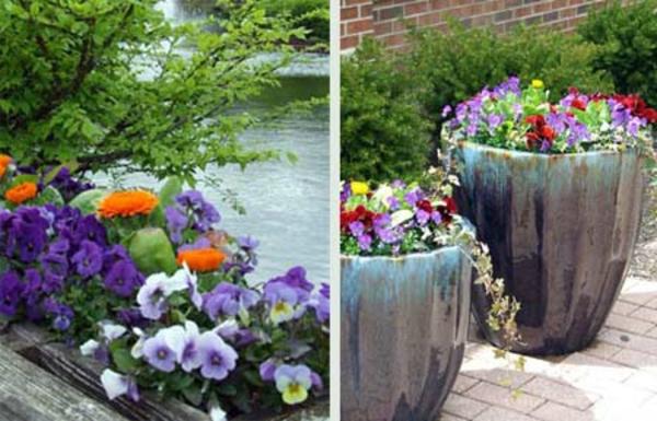 stiefmütterchen-pflanzen-zwei-bilder