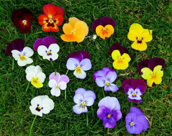 veilchen-in-verschiedenen-farben-foto-von-oben-genommen