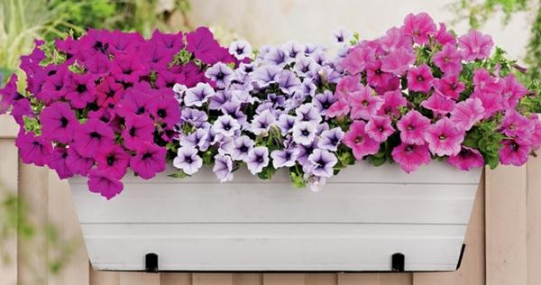 Petunia -Blumenkasten-für-den-Balkon