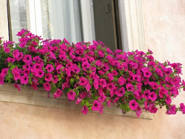 fantastischer--Blumenkasten-für-den-Balkon-mit-rosa-Blumen-Blumenkasten für Balkon